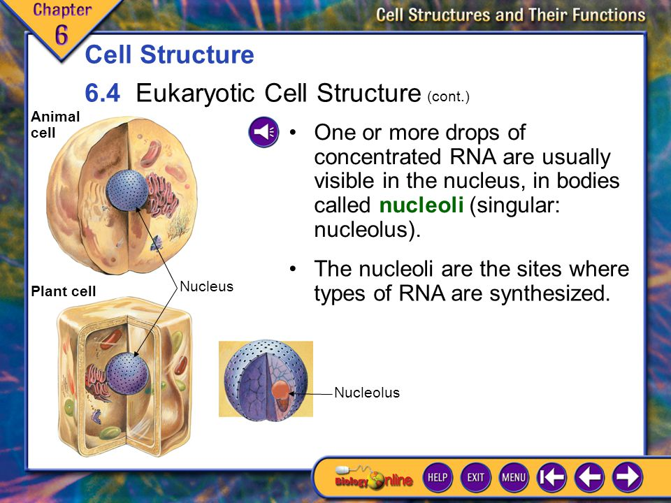 6.4 Eukaryotic Cell Structure 4