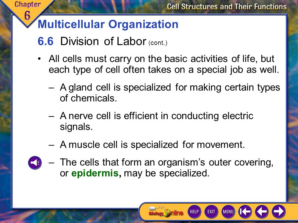 Multicellular Organization 6.6 Division of Labor (cont.)