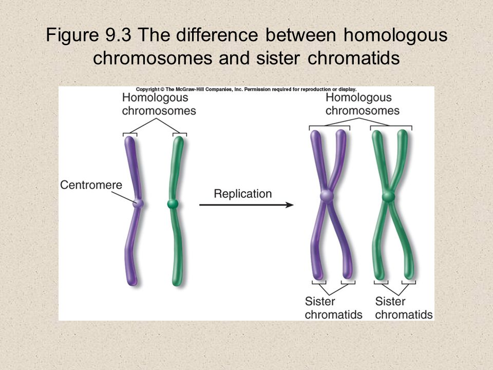 Figure 9.3 The difference between homologous chromosomes and sister chromatids