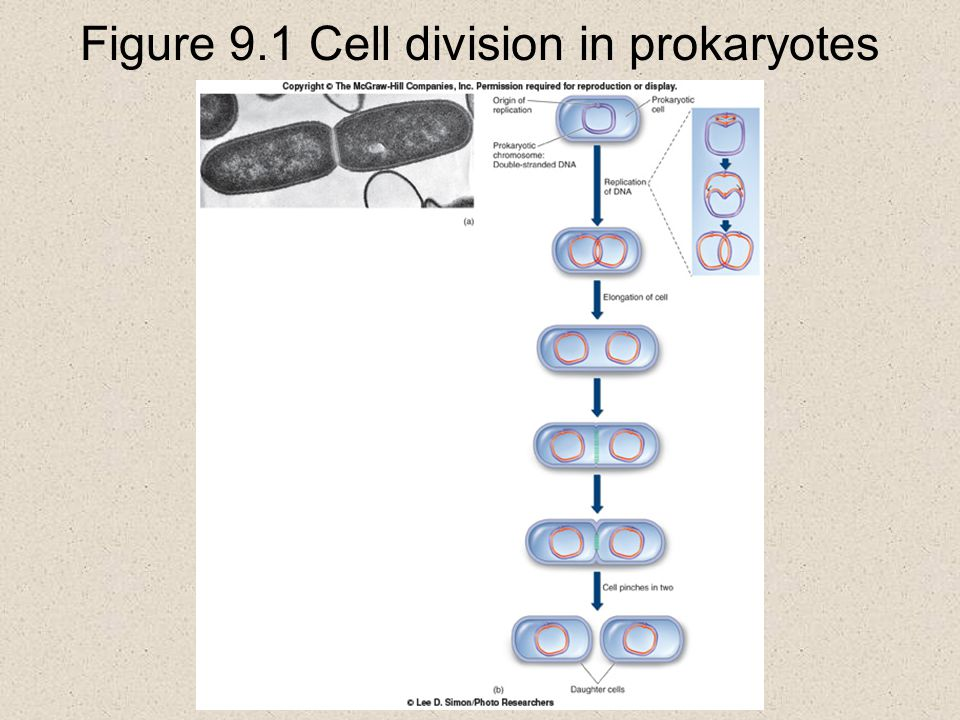 Figure 9.1 Cell division in prokaryotes