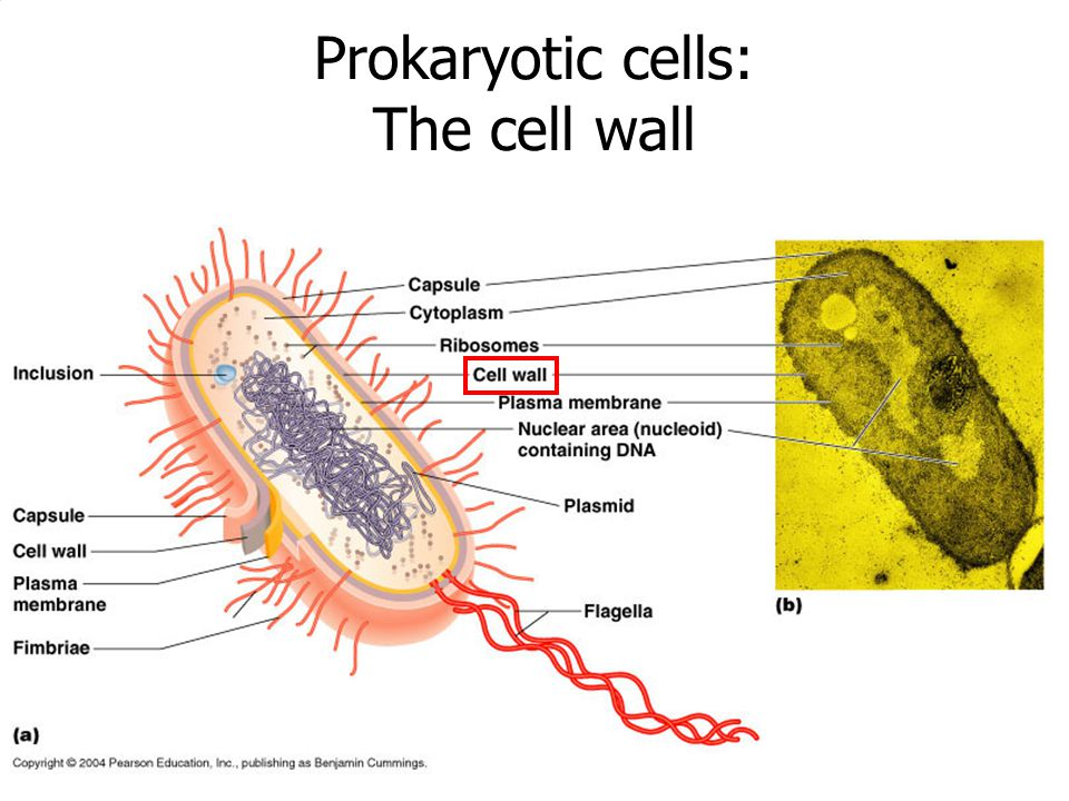 Prokaryotic cells: The cell wall