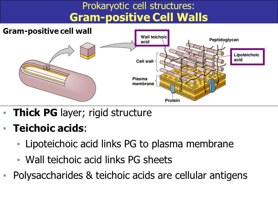 Prokaryotic cell structures: Gram-positive Cell Walls