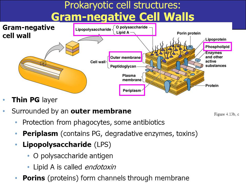 Prokaryotic cell structures: Gram-negative Cell Walls