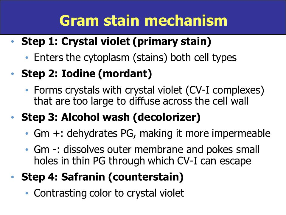 Gram stain mechanism Step 1: Crystal violet (primary stain)