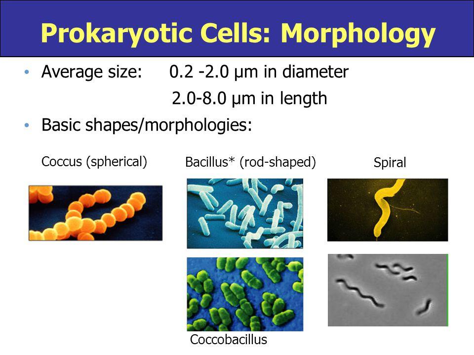 Prokaryotic Cells: Morphology
