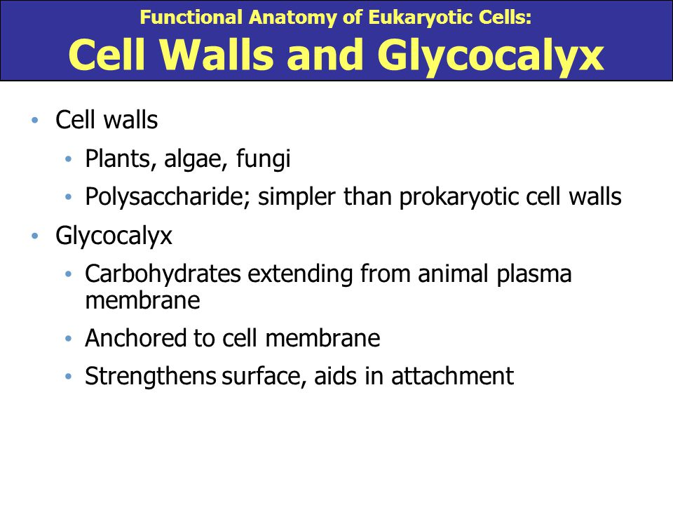 Functional Anatomy of Eukaryotic Cells: Cell Walls and Glycocalyx