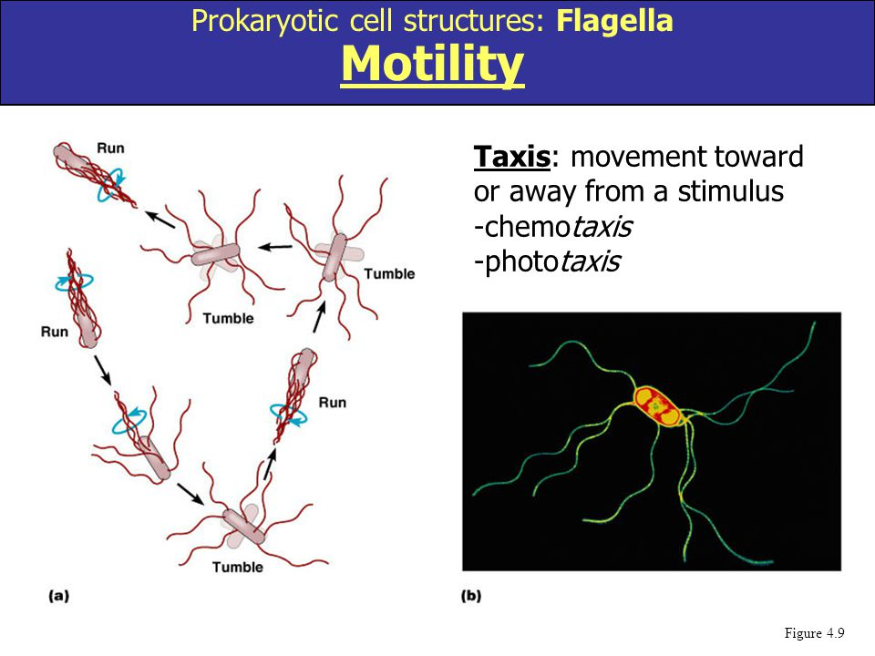 Prokaryotic cell structures: Flagella Motility
