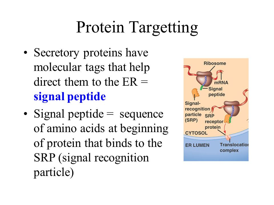 Protein Targetting Secretory proteins have molecular tags that help direct them to the ER = signal peptide.
