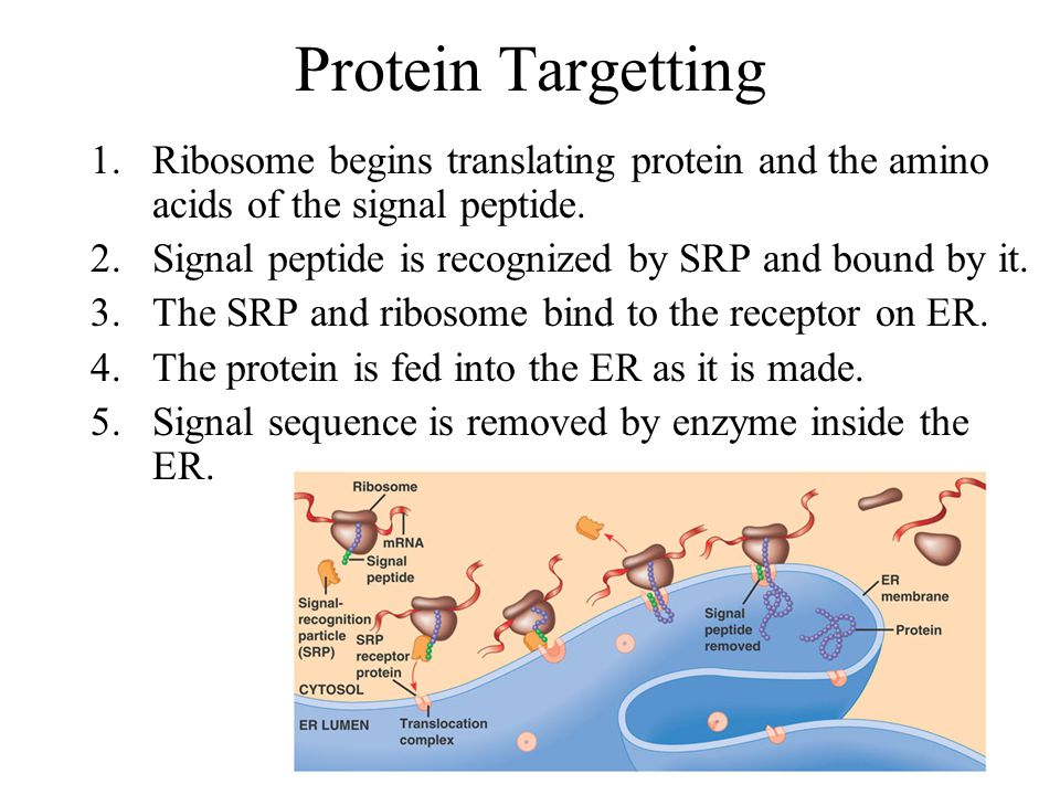 Protein Targetting Ribosome begins translating protein and the amino acids of the signal peptide.