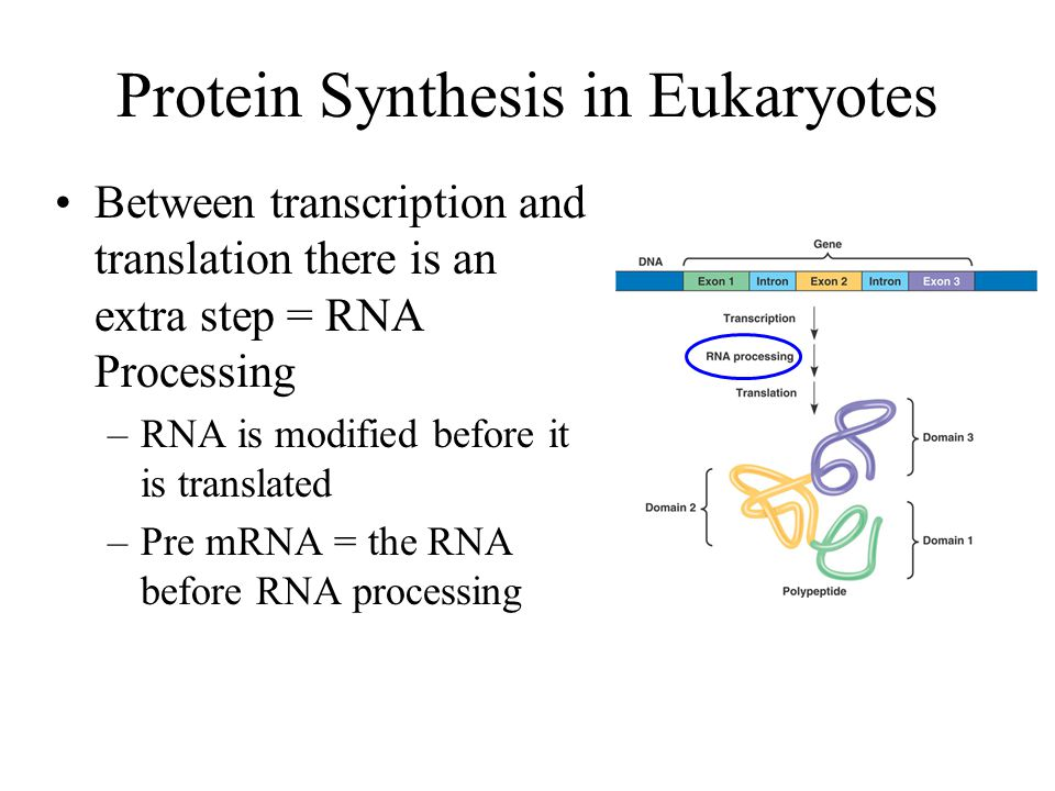 Protein Synthesis in Eukaryotes