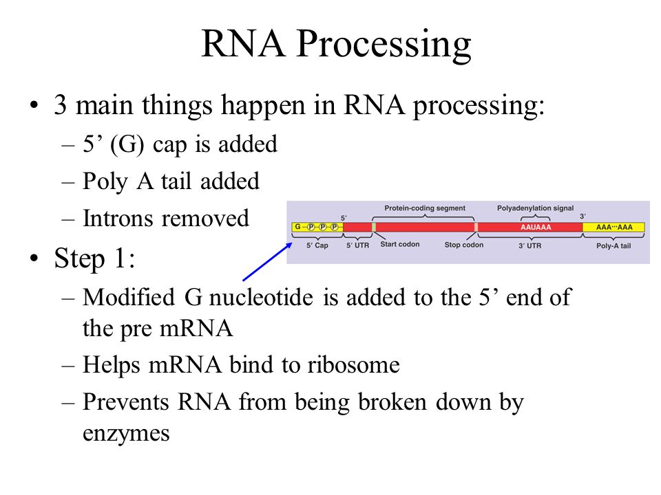 RNA Processing 3 main things happen in RNA processing: Step 1: