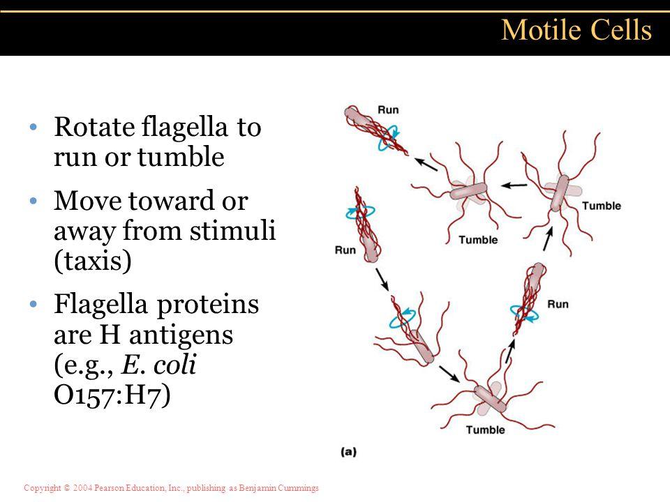 Motile Cells Rotate flagella to run or tumble