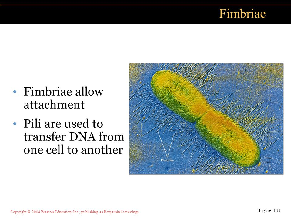 Fimbriae Fimbriae allow attachment