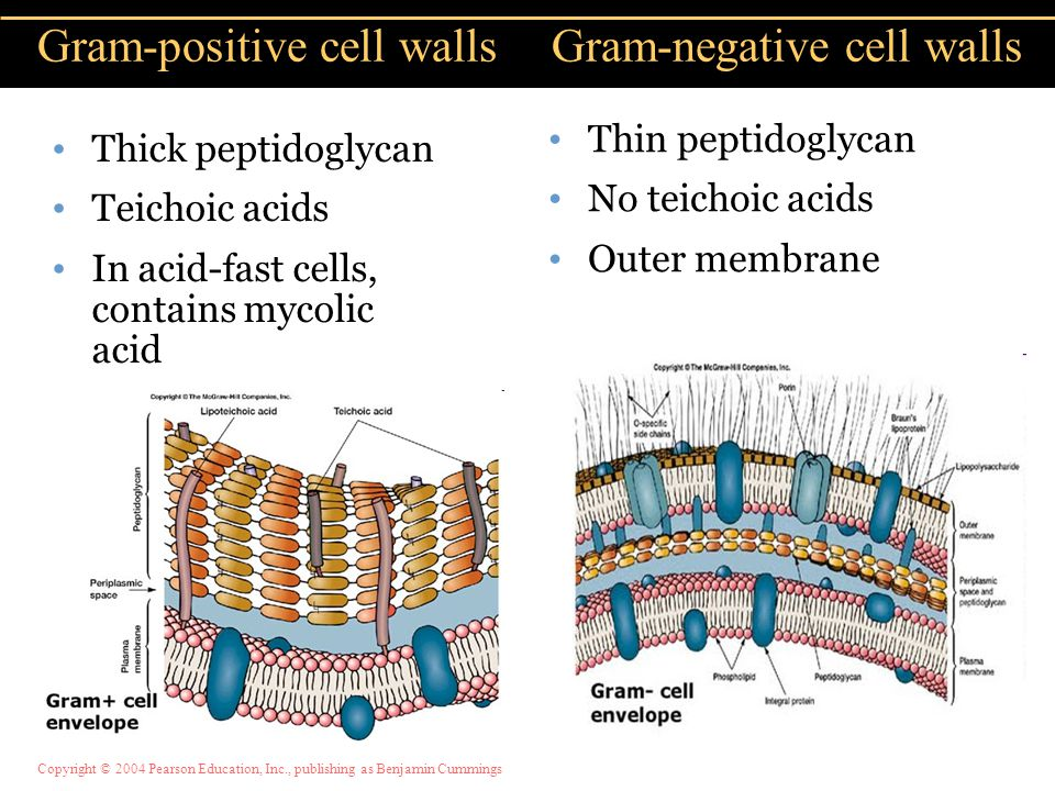 Gram-positive cell walls Gram-negative cell walls
