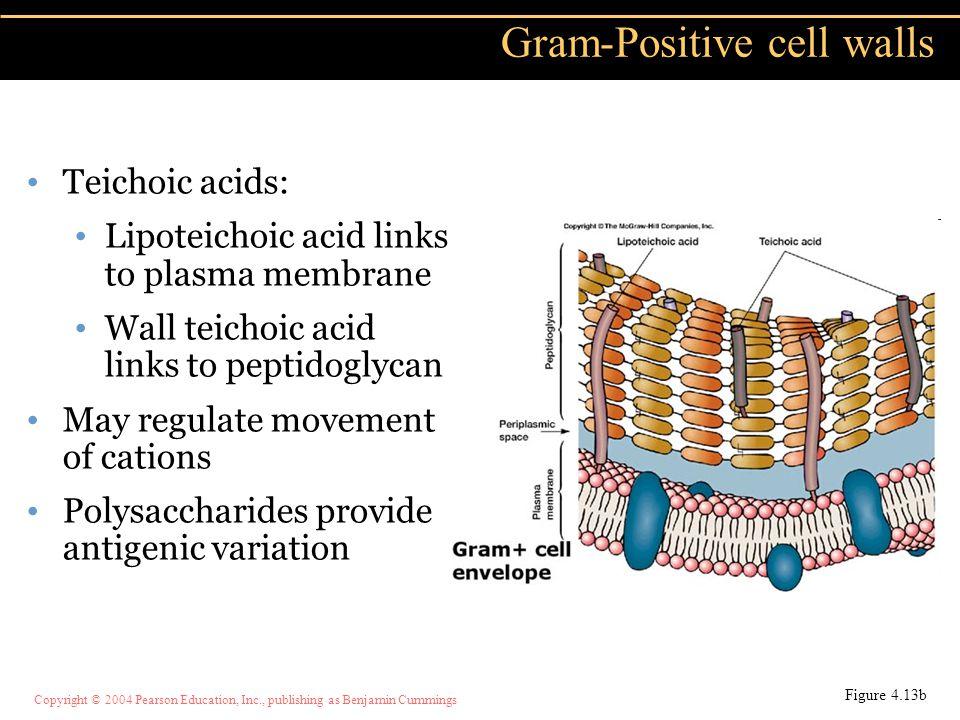 Gram-Positive cell walls