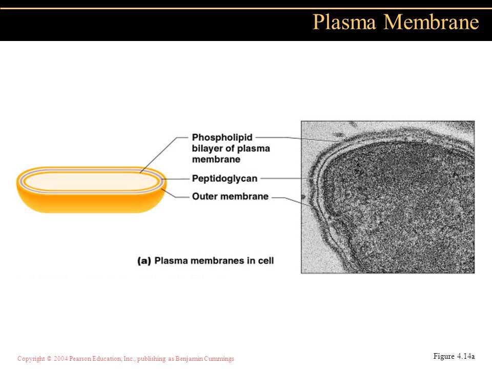 Plasma Membrane Figure 4.14a