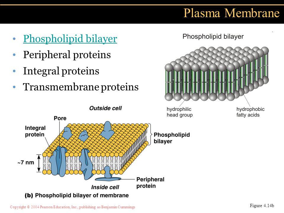 Plasma Membrane Phospholipid bilayer Peripheral proteins