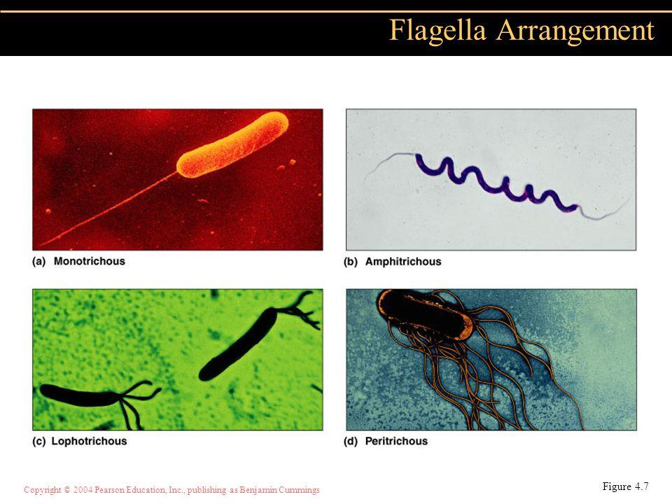 Flagella Arrangement Figure 4.7