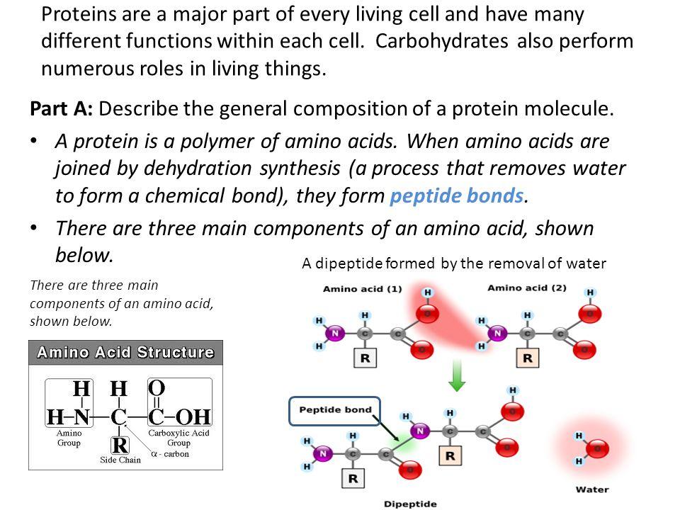 Part A: Describe the general composition of a protein molecule.