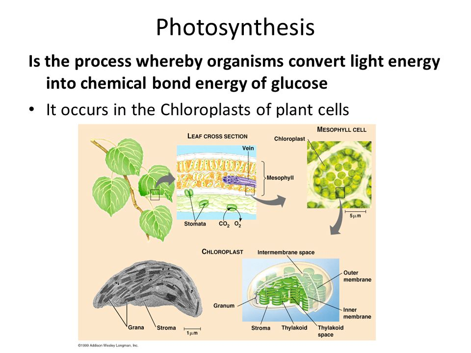 Photosynthesis Is the process whereby organisms convert light energy into chemical bond energy of glucose.