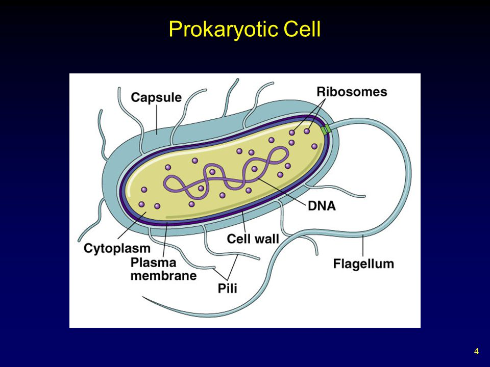 Prokaryotic Cell
