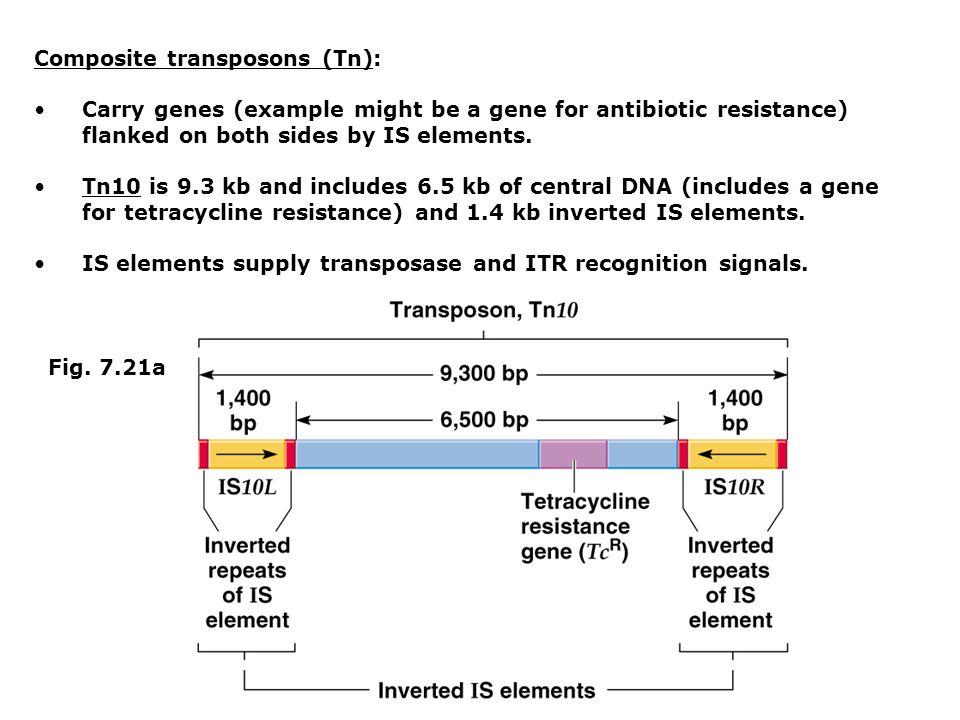 Composite transposons (Tn):