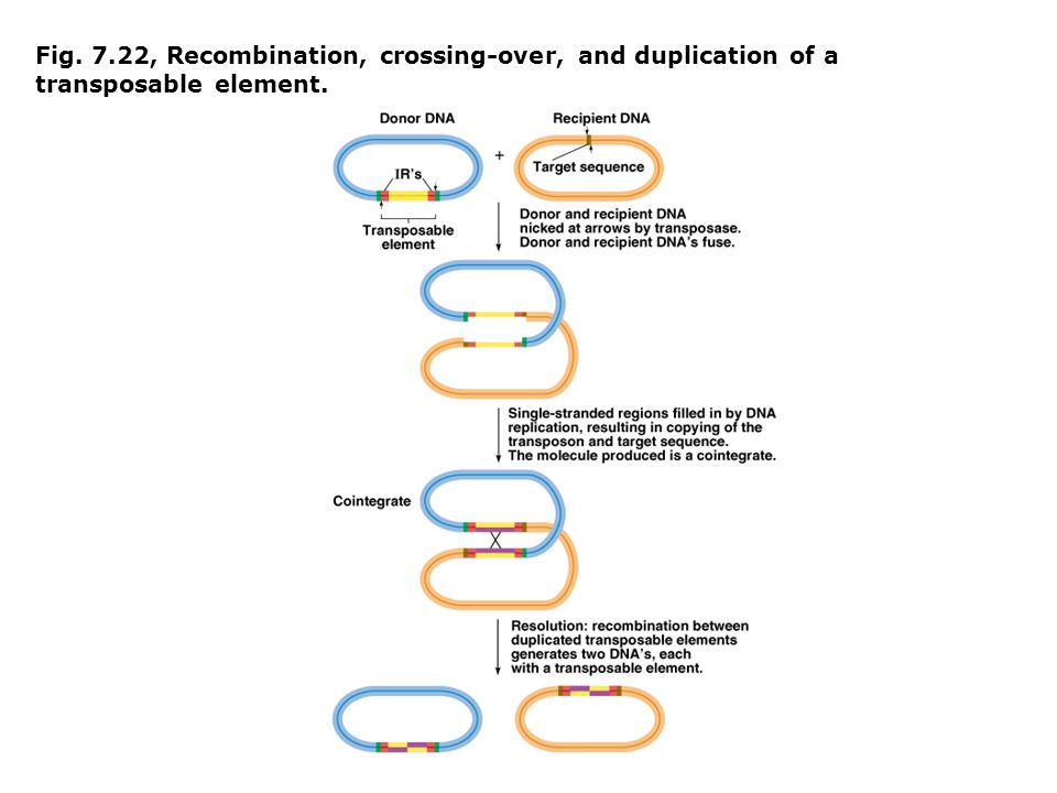 Fig. 7.22, Recombination, crossing-over, and duplication of a transposable element.