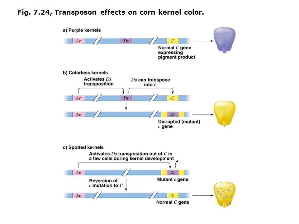 Fig. 7.24, Transposon effects on corn kernel color.