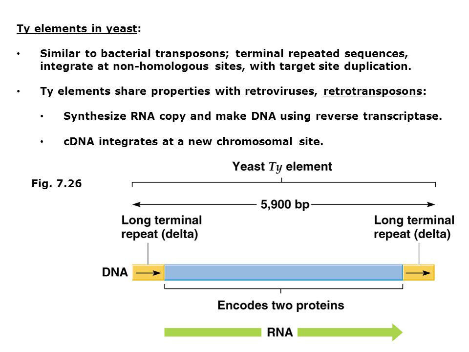 Ty elements in yeast: Similar to bacterial transposons; terminal repeated sequences, integrate at non-homologous sites, with target site duplication.
