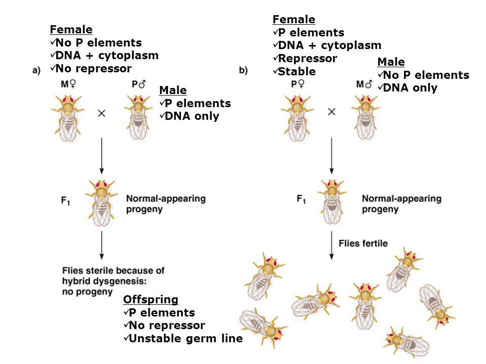 Female P elements. DNA + cytoplasm. Repressor. Stable. Female. No P elements. DNA + cytoplasm.