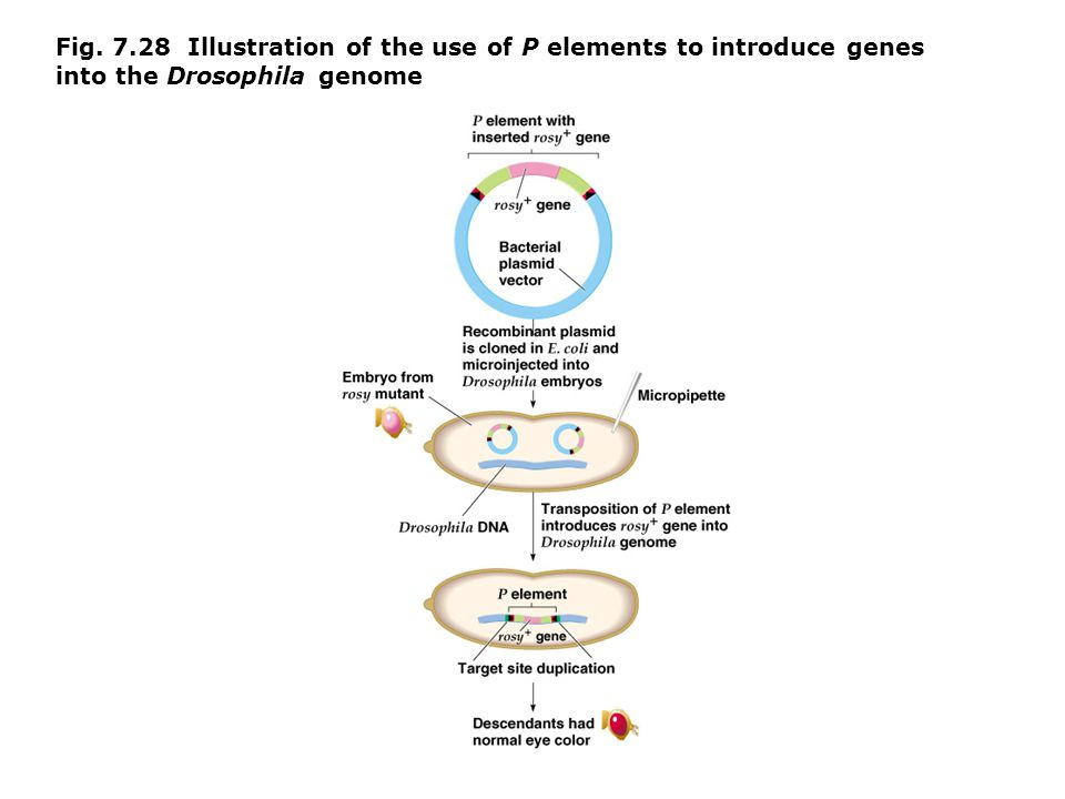 Fig. 7.28 Illustration of the use of P elements to introduce genes into the Drosophila genome