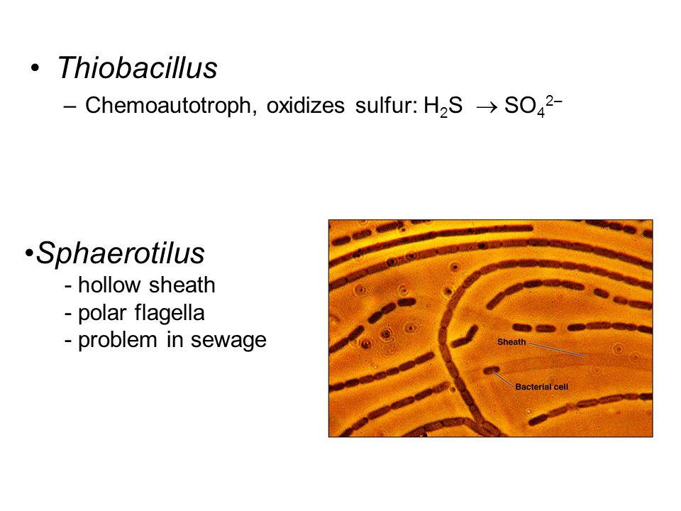Thiobacillus Sphaerotilus Chemoautotroph, oxidizes sulfur: H2S  SO42–