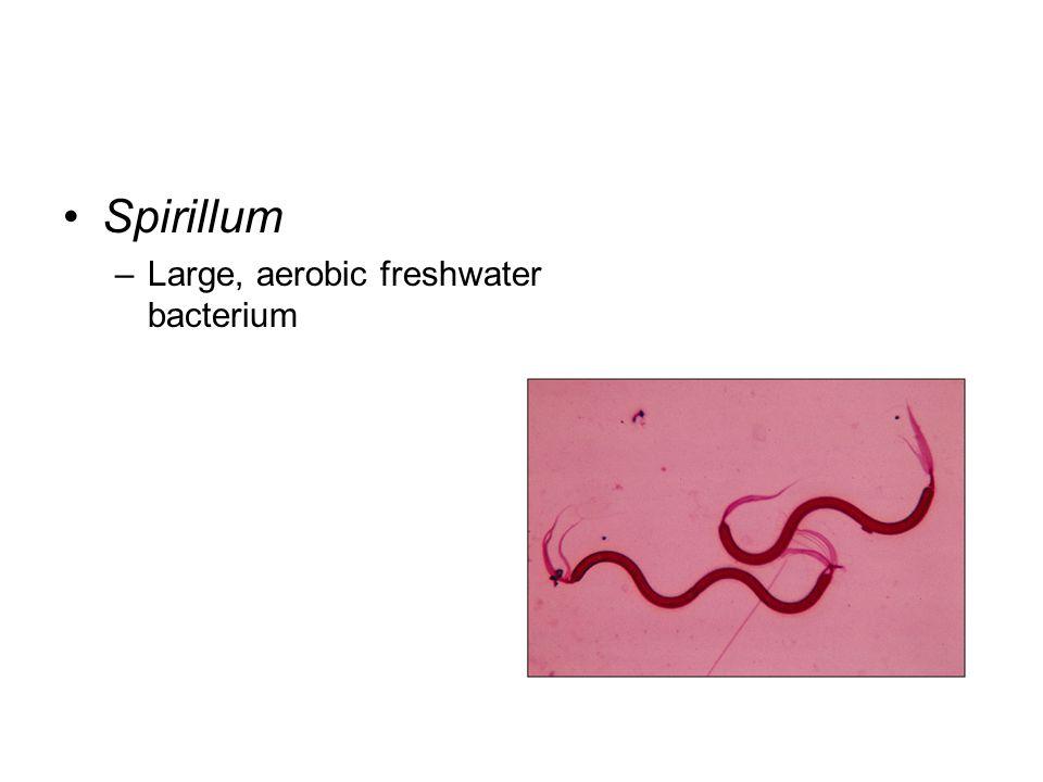 Spirillum Large, aerobic freshwater bacterium