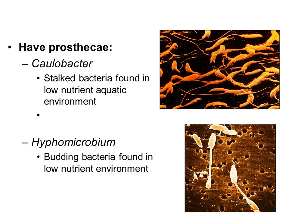 Have prosthecae: Caulobacter Hyphomicrobium