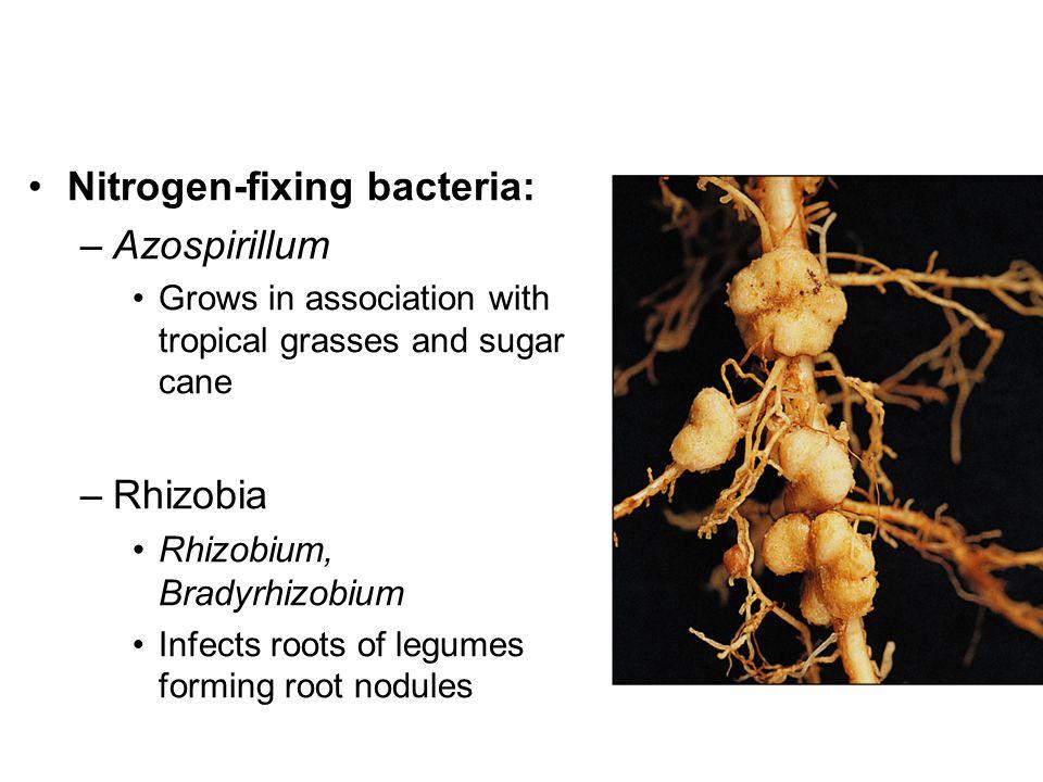 Nitrogen-fixing bacteria: Azospirillum