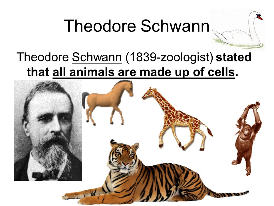 Theodore Schwann Theodore Schwann (1839-zoologist) stated that all animals are made up of cells.
