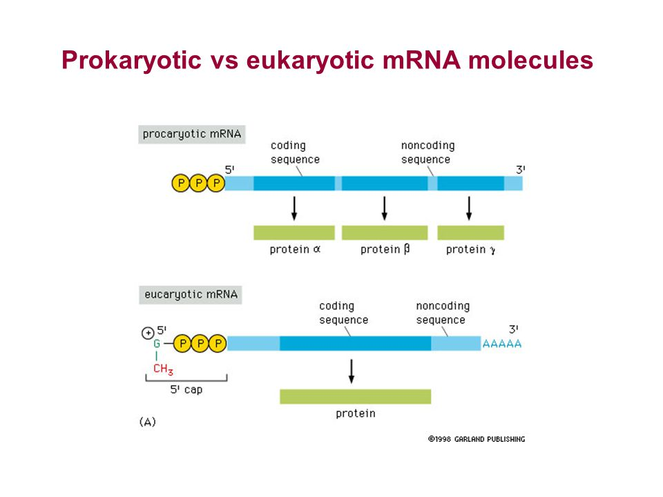 Prokaryotic vs eukaryotic mRNA molecules