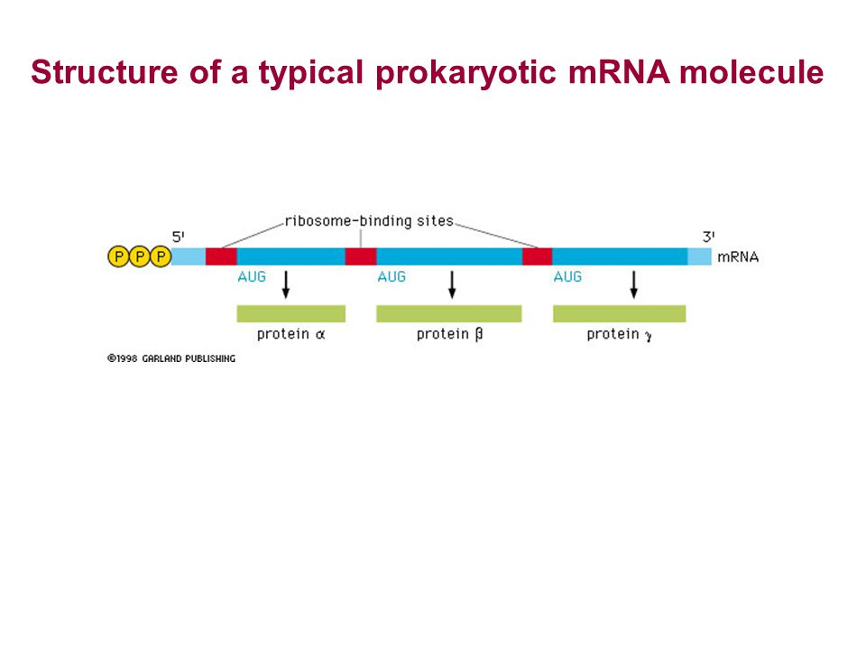 Structure of a typical prokaryotic mRNA molecule