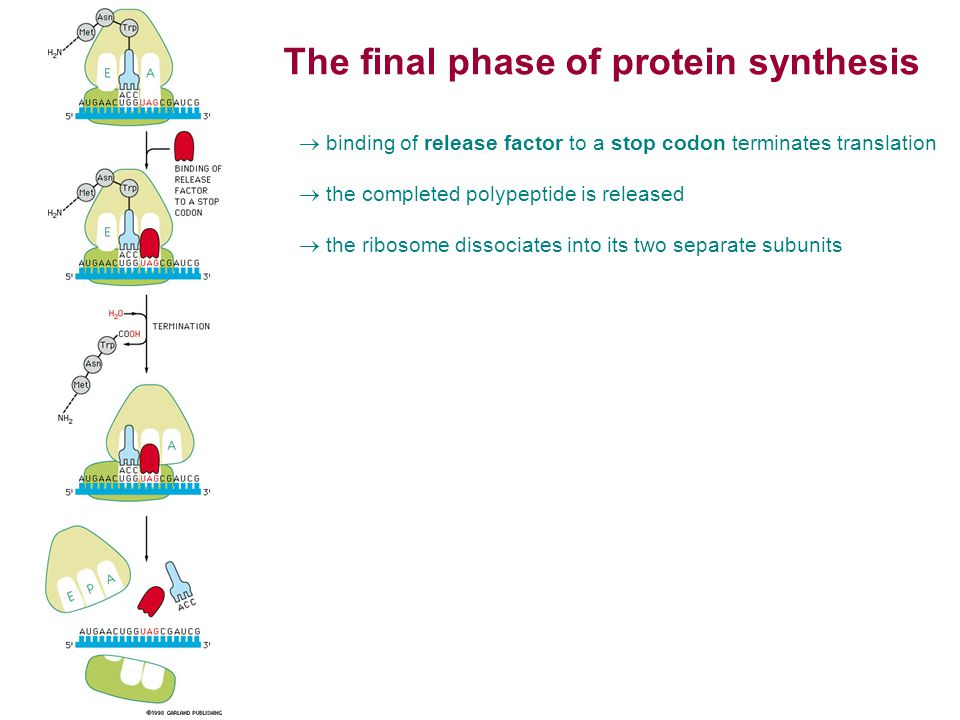 The final phase of protein synthesis