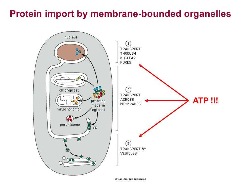 Protein import by membrane-bounded organelles