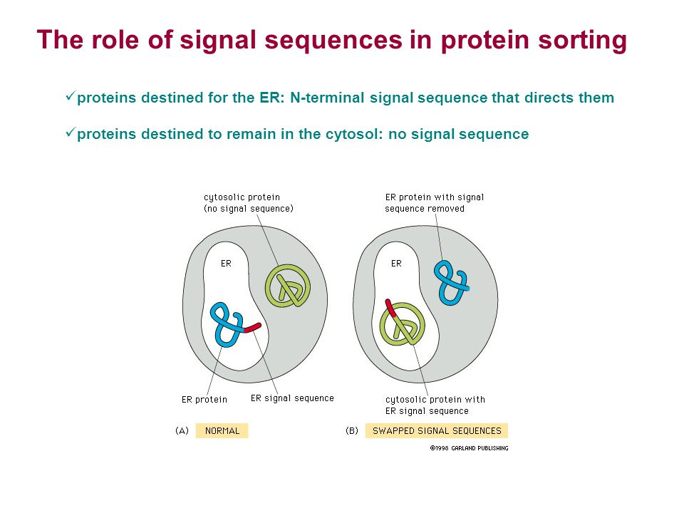 The role of signal sequences in protein sorting
