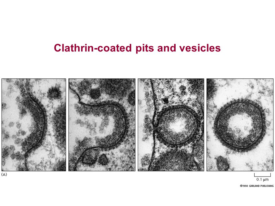 Clathrin-coated pits and vesicles