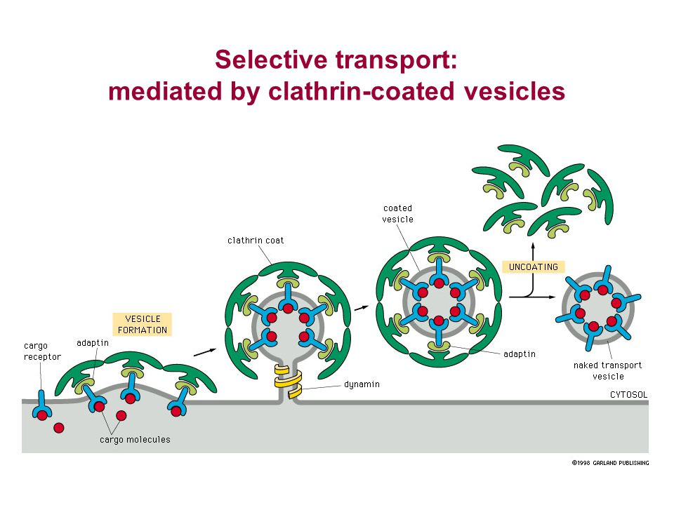 mediated by clathrin-coated vesicles