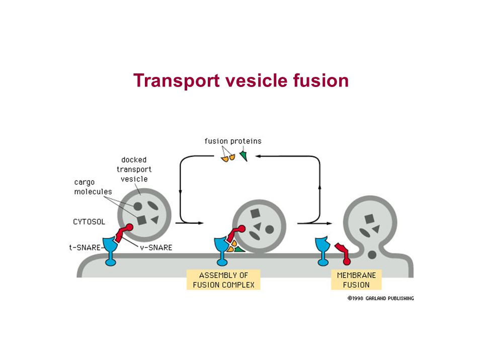 Transport vesicle fusion