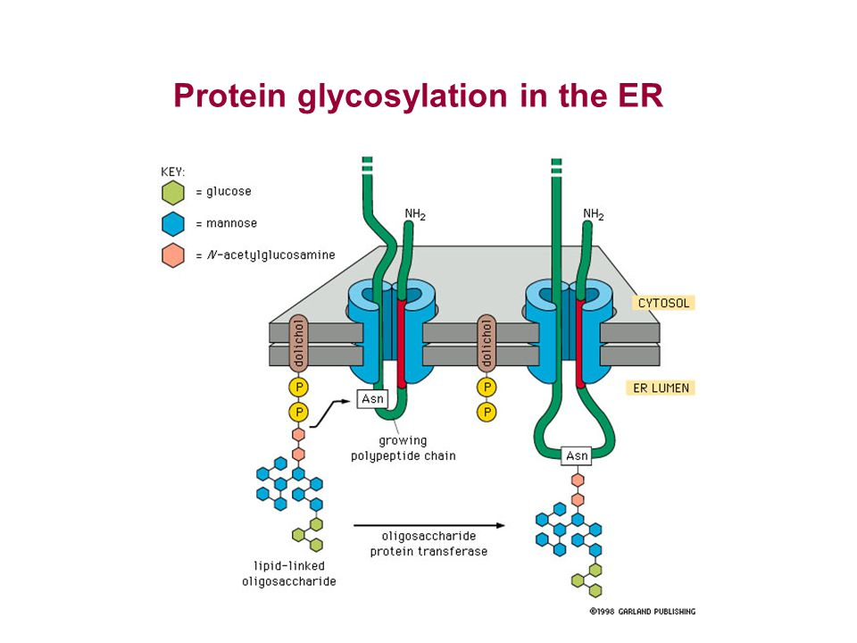 Protein glycosylation in the ER