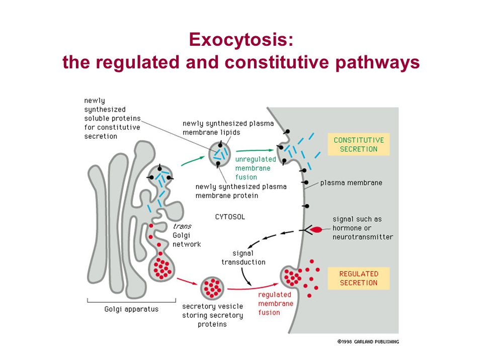 the regulated and constitutive pathways