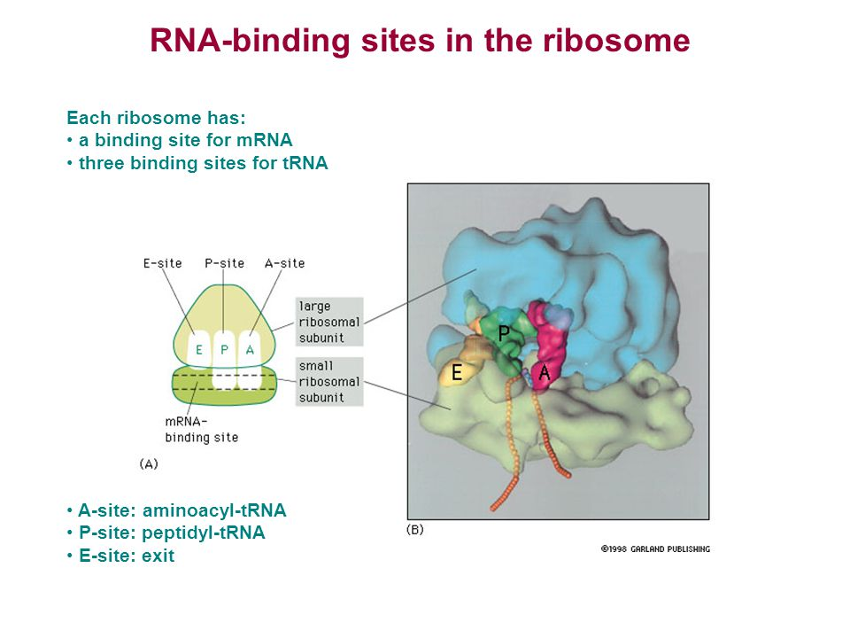 RNA-binding sites in the ribosome