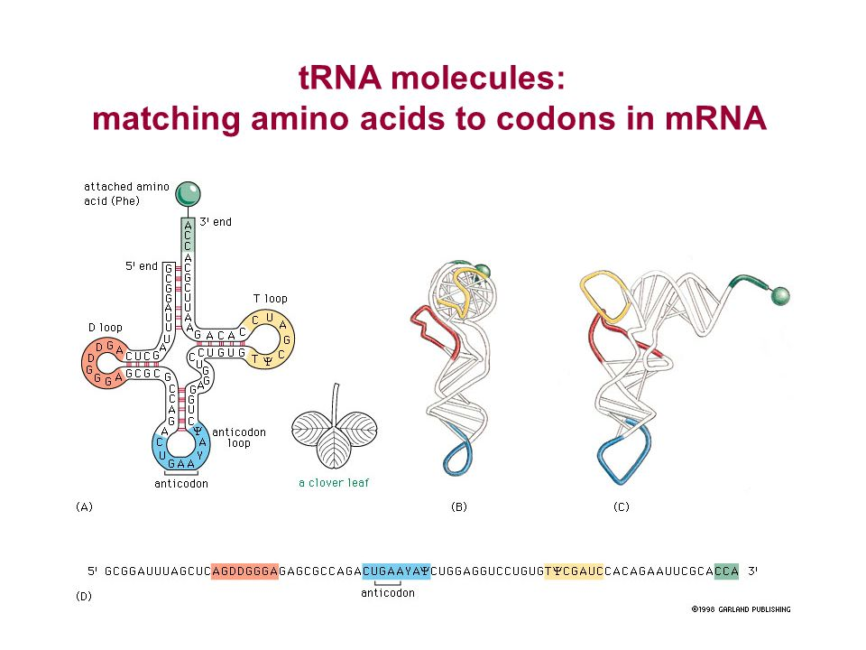 matching amino acids to codons in mRNA