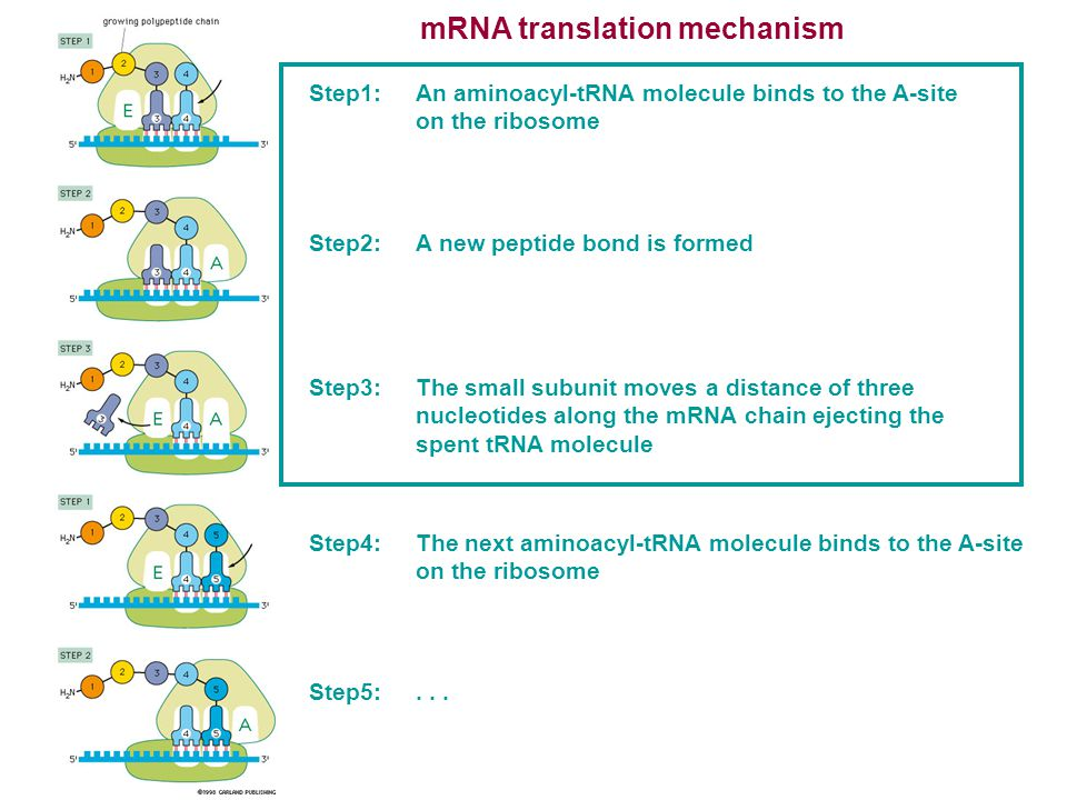 mRNA translation mechanism