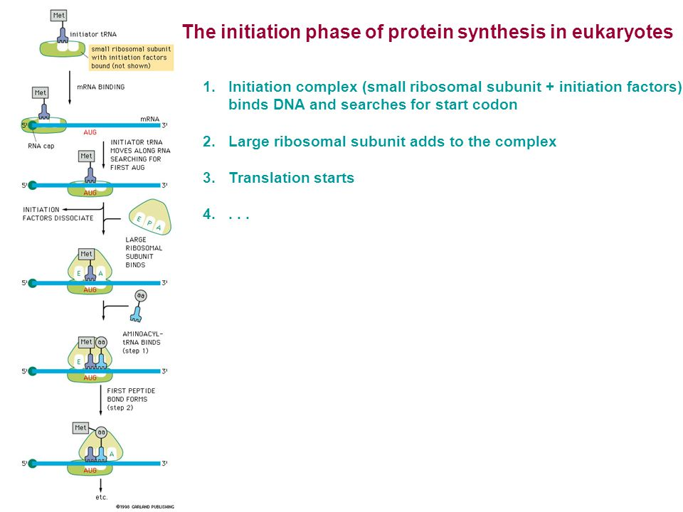 The initiation phase of protein synthesis in eukaryotes